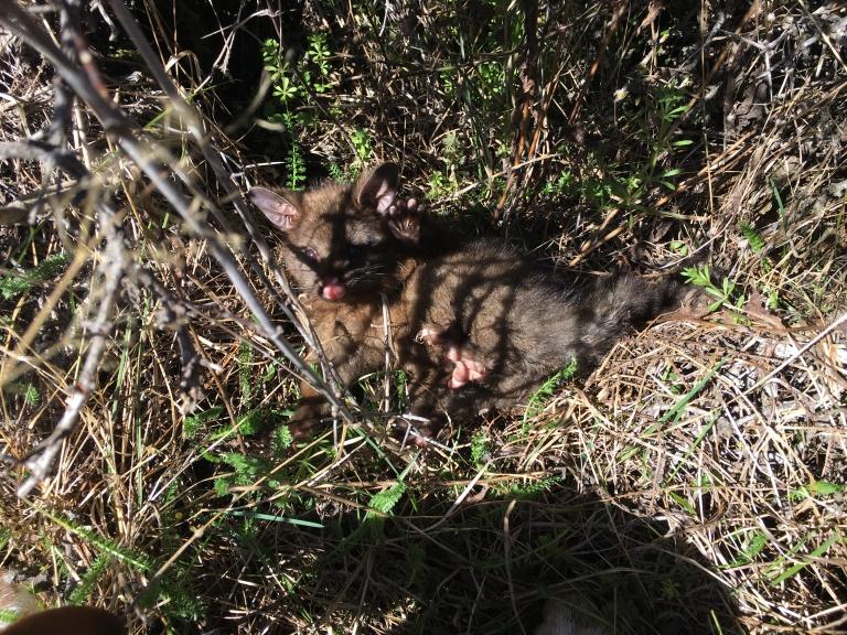 Juvenile Possum